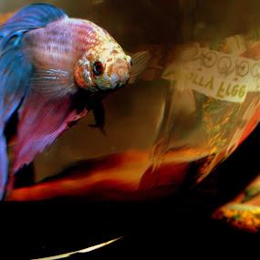 Maverick by Vanessa Latrimurti - Animals Fish ( fish bowl, purple, color, bright, blue, beta )