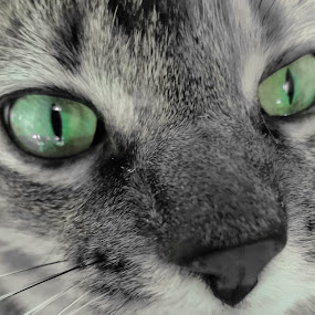whittle baby by Serenity Deliz - Animals - Cats Portraits ( cat, focused cat, gazing, serenity, kitty, starring )