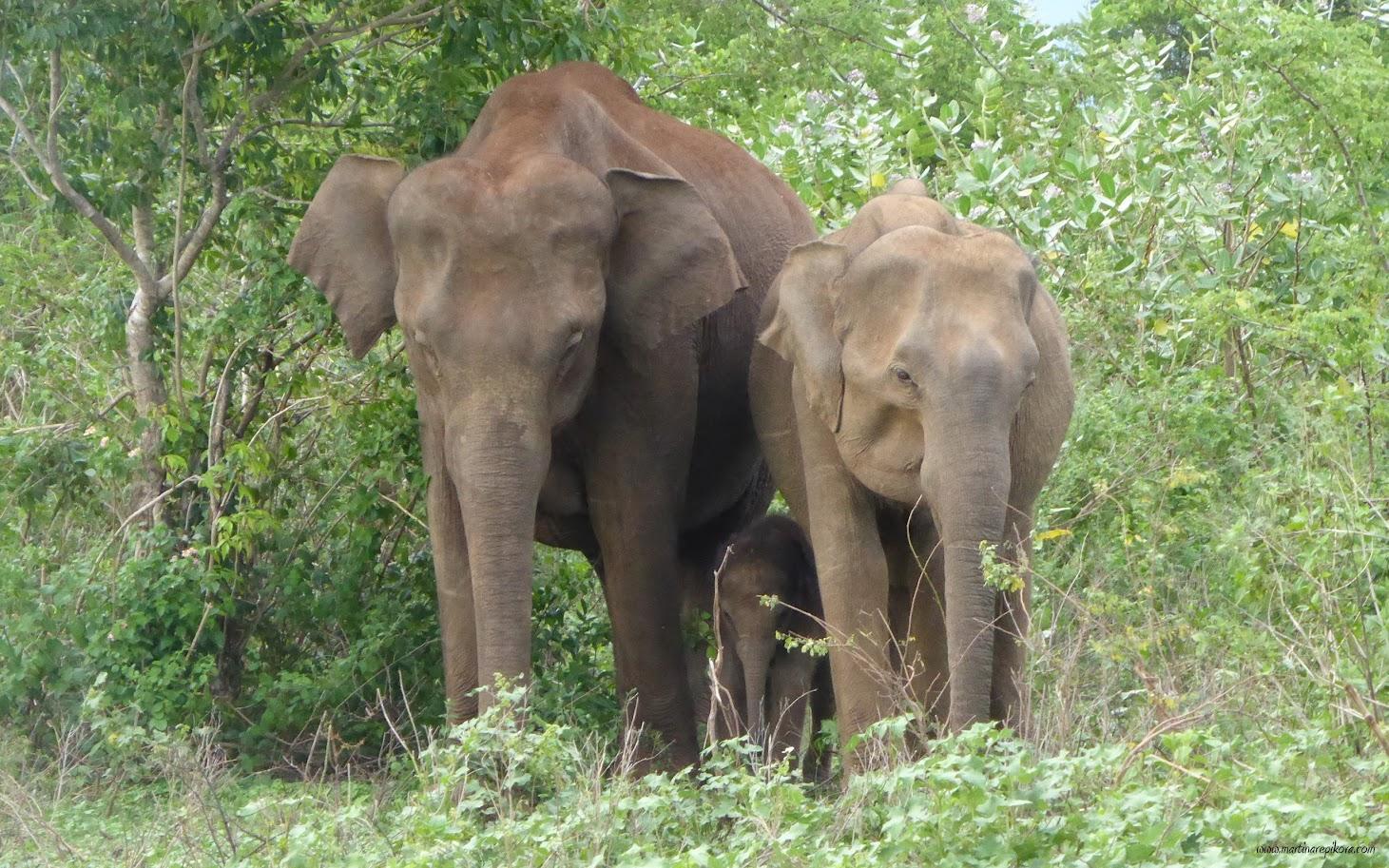 Elephant baby, Uda Walawe, Sri Lanka