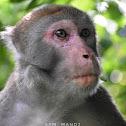 Rhesus Macaque (Old World Monkey)