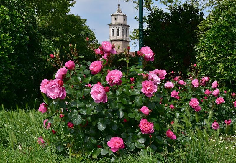 Maggio delle rose  di renzo brazzolotto