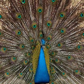 Peacock by Tahir Sultan - Animals Birds ( #islamabad, #beautifulbird, #peacock, #pakistan, #closeup,  )