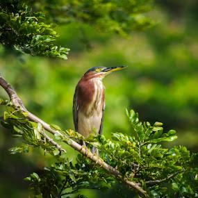 Kingfisher by Gabriel Cabrera - Animals Birds ( animals, nature, kingfisher, birds )