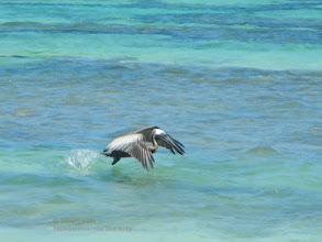 Photo: Pelican take-off
