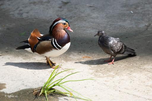 Flashy Hougang Mandarin duck posing next to pigeon is prime meme material