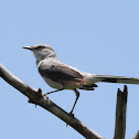 Tropical Mockingbird / Centzontle tropical