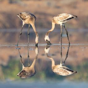 reflection by Amol Patil - Animals Birds ( reflection, flamingo, couple, light )