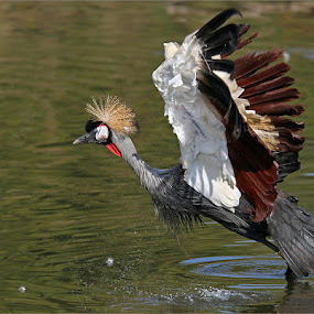 Crowned crane pose by Johann Harmse - Animals Birds ( crane, nature, bird, crowned crane, birds,  )