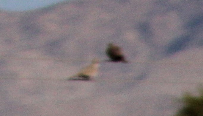 Ruddy-ground dove?