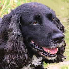 Bonny Boyce by Chrissie Barrow - Animals - Dogs Portraits ( mouth, cocker spaniel, pet, male, white, fur, ears, long, dog, nose, black, portrait, eyes )