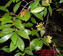 Photo: Bunchosia - Bunchosia media, MALPIGHIACEAE, shrub that grows in dry rocky woodlands. Grand Cayman, Little Cayman, Cuba, Jamaica and Hispaniola Photo: Ann Stafford, June 9, 2002 Proctor's Flora of the Cayman Islands 2012 p.507