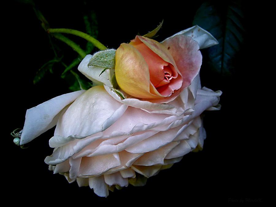 la Rosa by Mirela Korolija - Flowers Single Flower (  )