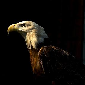 Majestic Bald Eagle by Kimberly Davidson - Animals Birds ( portrait of a bald eagle, eagle, bald eagle, wildlife, raptor,  )