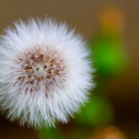Puff by Jennifer Lamanca Kaufman - Nature Up Close Leaves & Grasses