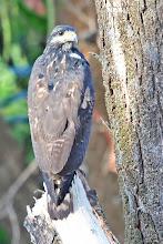 Photo: Crane Hawk