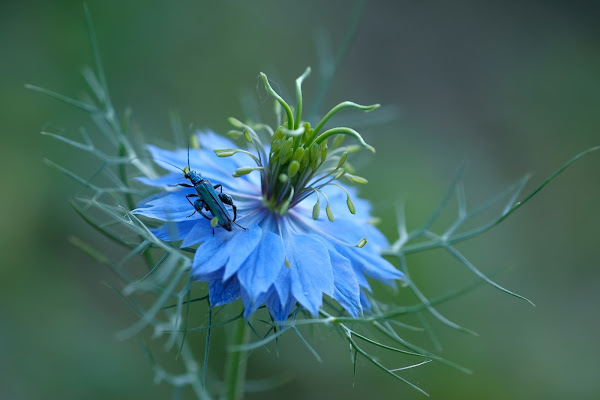 Love in a mist blooming
