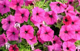 Macintosh HD:Users:sarinavetterli:Desktop:Plant and Granola Sale:Plant Images:Petunias hot pink.jpg