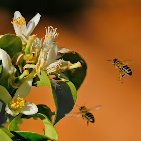 two bees by Miho Kulušić - Flowers Tree Blossoms ( orange, fly, flowers, bee, blossom, flying, two,  )