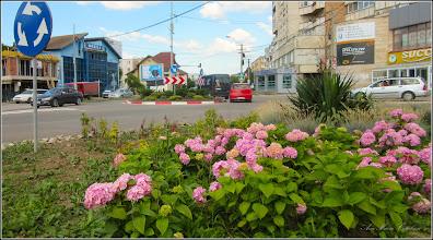 Photo: Hortensie (Hydrangea) - de pe Calea Victoriei, spatiu verde - 2018.06.19