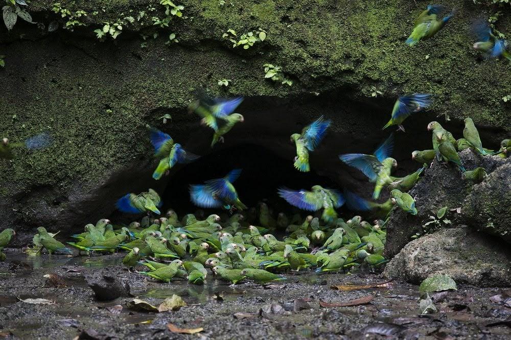 Clay Lick, os barrancos de barros que as aves gostam de comer