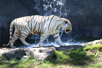 Photo: White tiger in his new home