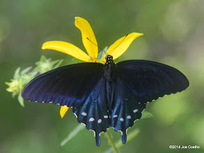 Photo: Pipevine swallowtail, Blue Spring Natural Area, MO