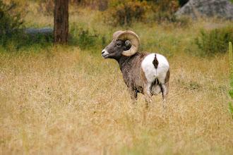 Photo: Large Bighorn Ram.