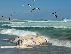 Photo: toter Wal bei Tsaarsbank, West Coast NP