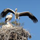 White stork