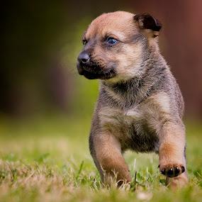 Run Scrappy Run by David Morris - Animals - Dogs Puppies