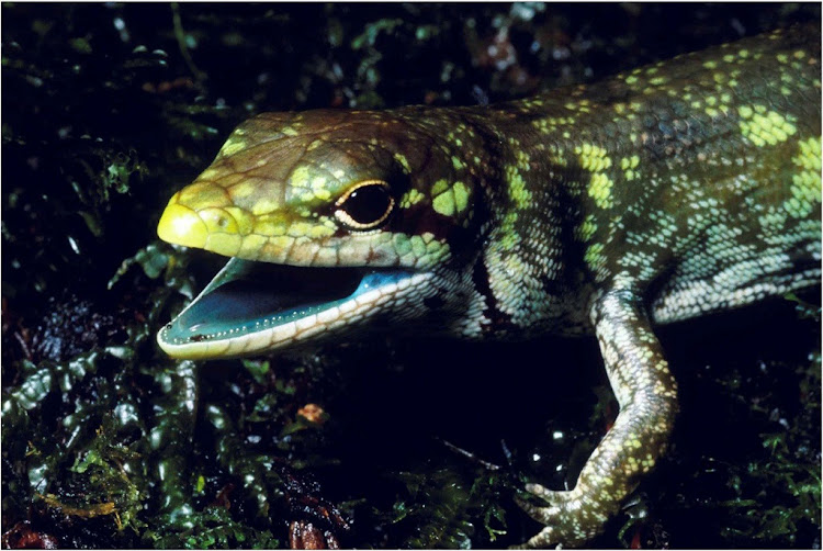 Prasinohaema prehensicauda, a green-blooded lizard with high concentrations of biliverdin, or a toxic green bile pigment, found in New Guinea is seen in this image released May 16, 2018. Picture: REUTERS/ CHRISTOPHER AUSTIN/ LOUISIANA STATE UNIVERSITY