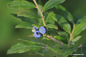 Photo: Wild blueberries at Lowell Lake State Park by Lene Gary