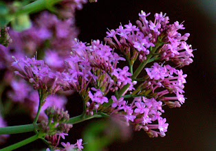 Photo: Centranthus ruber (Valerianaceae), Red Valerian