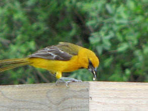 Photo: First year Hooded Oriole