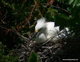 Photo: Snowy Egret nest at High Island, Texas