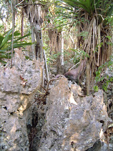 Photo: Split on the swamp 'trail', Ironwood Forest. PHYTOKARST is pinnacle rock of the Cayman Formation dolostone (limestone with magnesium). Roots of trees and shrubs penetrate through the rocks to get water. The roots secrete acids. Microbes bore their way into dolostone to produce the sharp, grey-black weathered surface of the jagged pinnacles which contrasts with the white colour of the unaltered host rocks. Photo: Ann Stafford, Grand Cayman, 2003