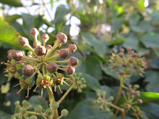 La hiedra elegida planta del mes en el jard n bot nico for Jardin botanico medicinal