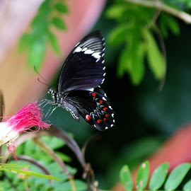 butterfly on pom oom by Carolyn Lawson - Animals Insects & Spiders