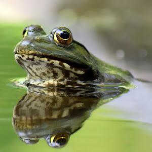 Frog 6 May 17 B NR3.jpg