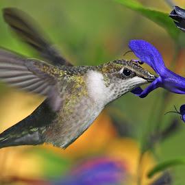Hummer and blue Salvia by Anthony Goldman - Animals Birds ( flight, nature, bird, hummingbird, botanic gardens, wild, female ruby-throat, wildlife,  )