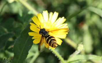 Photo: Chrysotoxum cautum  Diptera  > Syrphidae