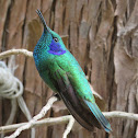 Green-Violet Ear Hummingbird