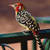 Barbudo cabecirrojo (Red-and-yellow barbet)