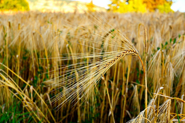 Spiga di grano di dadoo
