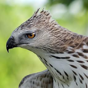 Eagle by Henry Wijaya - Animals Birds