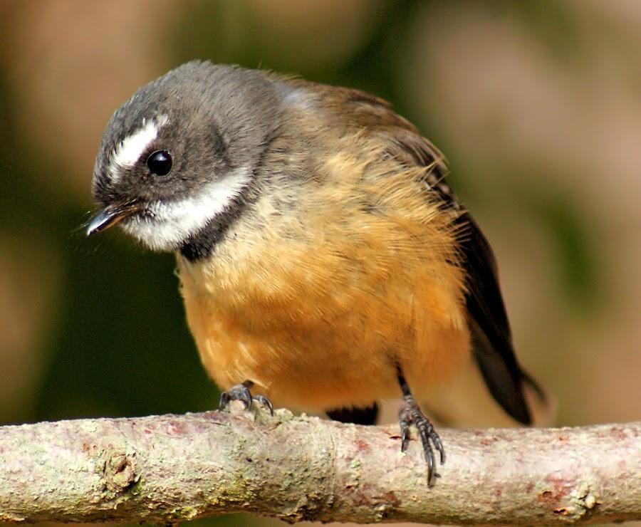 New Zealand Fantail by Tim Bennett - Animals Birds