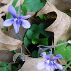 Ηeath violet (Μενεξές)