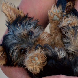 Arms Wide by Savannah Eubanks - Animals - Dogs Puppies ( yorkshire, yorkshire terrier, puppy, held, yorkie, happy )