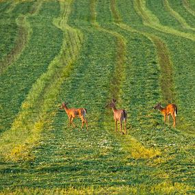 Racing Lines by Reva Fuhrman - Landscapes Mountains & Hills ( lines deer hill field rural sunset,  )