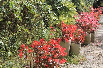 Photo: 拍攝地點: 梅峰-溫帶花卉區 拍攝植物: 秋海棠 拍攝日期: 2015_10_27_FY